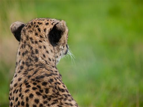 Resources for Cheetahs (and Gazelles and other metaphors for second stage companies)